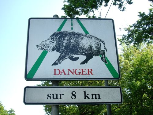 Uh_oh_wild_boar!